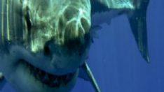 3 köpekbalığı birden saldırdı!